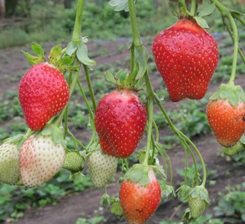 Красные ягоды клубники на длинных стеблях