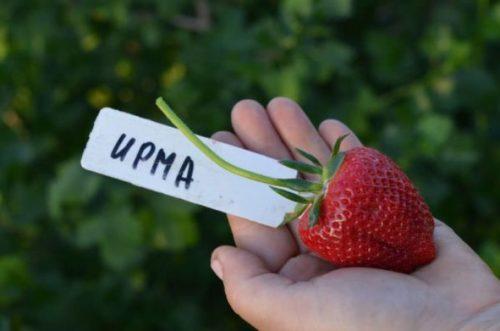 Крупная ягода клубники сорта Ирма