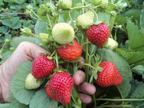 Веточки клубники Ирма с ягодами