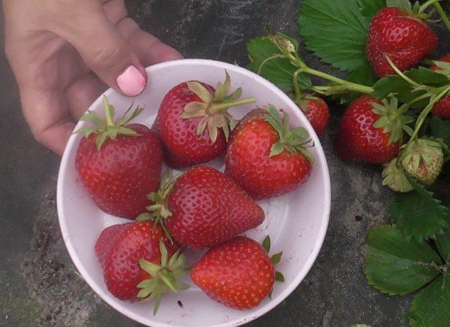 Крупные ягоды клубники Ирма в тарелке