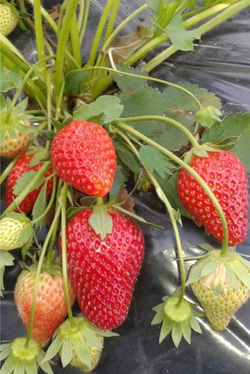 Стебли клубники Ирма со спелыми плодами