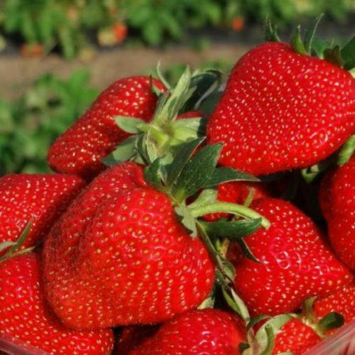 Горстка спелых ягод клубники Ирма