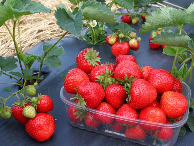 Палетка с ягодами клубники сорта Элеганс