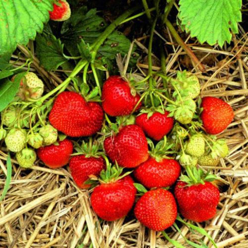 Спелые глянцевые ягоды клубники сорта Эльсанта