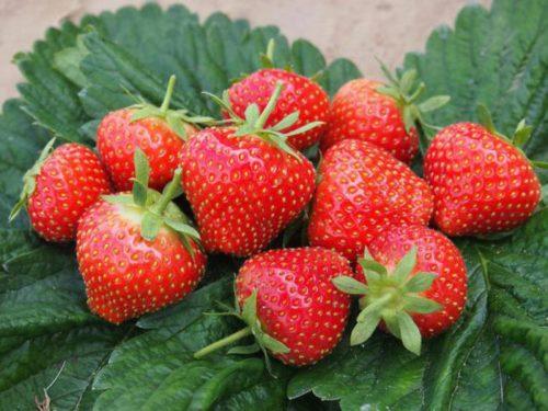 Горстка сочных ягод клубники Эльсанта