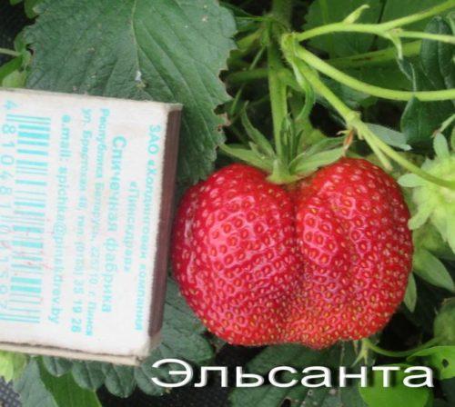 Размеря ягоды клубники Эльсанта