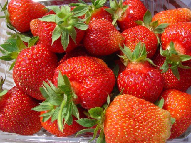 Горстка спелых ягод клубники сорта Эстафета