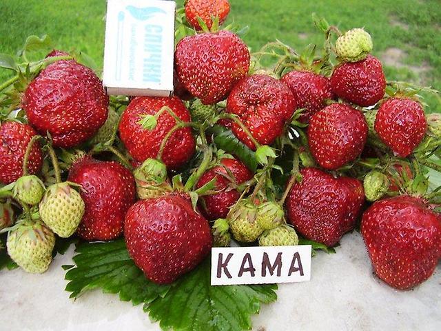 Размеры ягод клубники сорта Кама