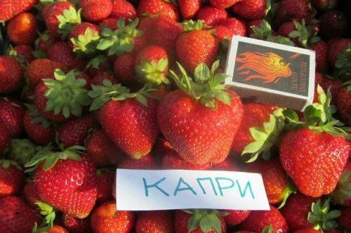 Урожай ягод клубники Капри