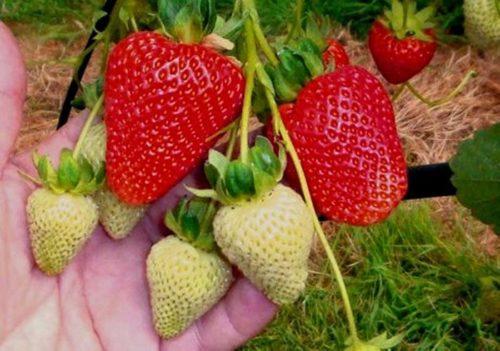 Спелые и назревающие ягоды клубники