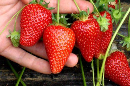 Ветка клубники и спелые ягоды сорта Капри