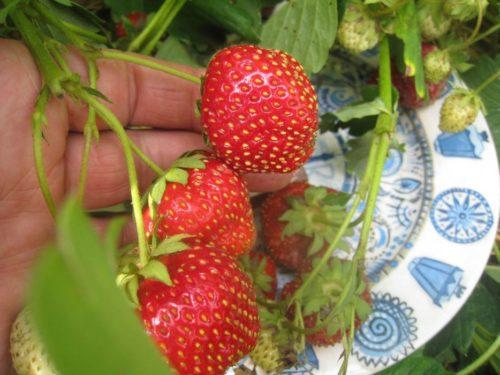 Ягоды земляники Кармен в руке садовода и тарелка под кустом