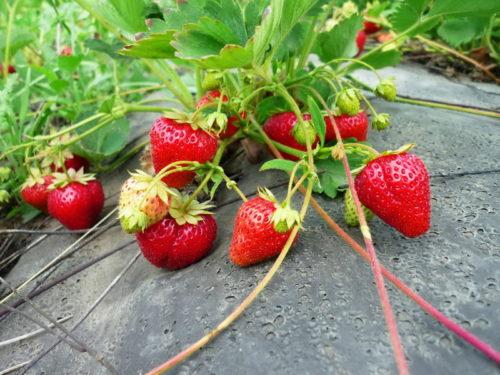 Куст клубники Кармен с ягодами на черном нетканом материале