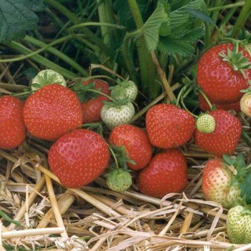Куст клубники сорта Кленси с ягодами