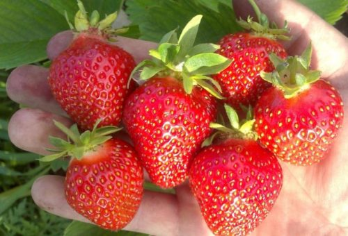 Горстка спелых ягод клубники сорта Клери