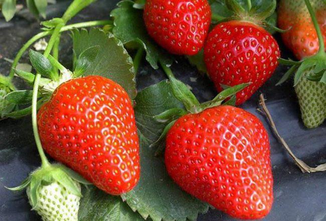 Спелые плоды клубники сорта Клери