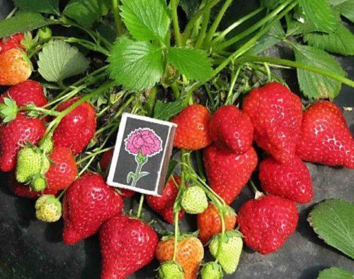 Размеры ягод клубники сорта Клери