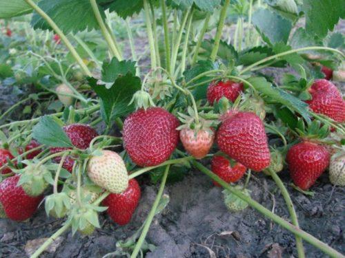 Кустик клубники Клери с плодами различной спелости