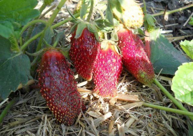 Спелые ягоды клубники Купчиха имеют ярко выраженную вытянутую форму