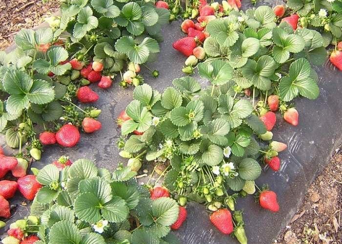 Земляника садовая, Рекомендации по выращиванию и уходу