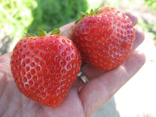 Две большие ягоды клубники Мальвина немецкой селекции