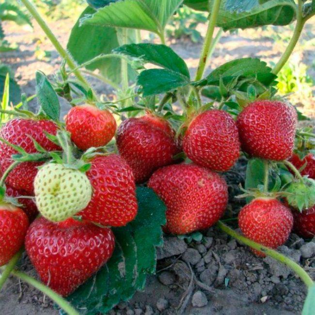 Созревшие ягоды под кустом клубники Мальвина
