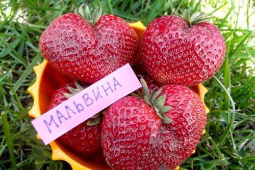 Крупные плоды десертной клубники сорта Мальвина