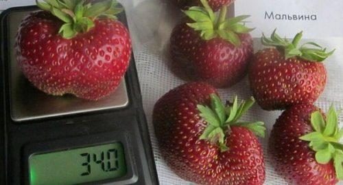 Вес одной ягоды клубники сорта Мальвина