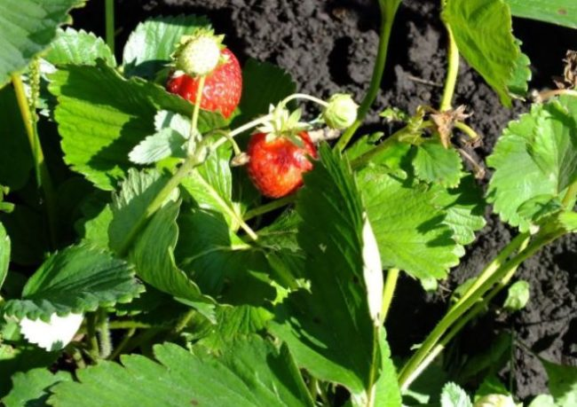 Веточка молодого кустика клубники Мальвина с ягодками