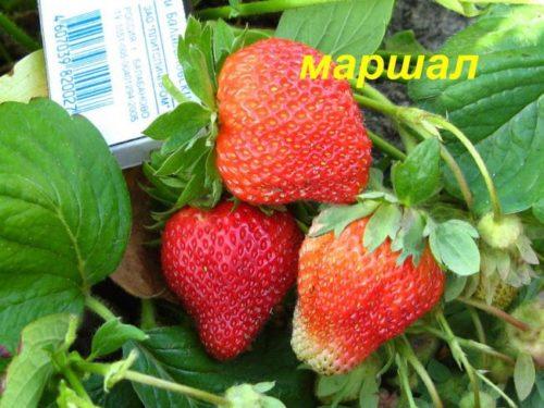 Спелые ягоды клубники Маршал