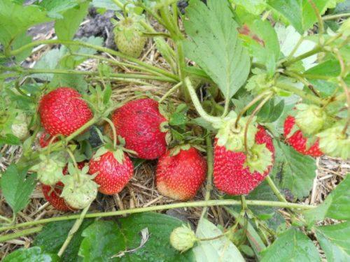 Спелые плоды крупнсортной клубники Машенька под кустиком