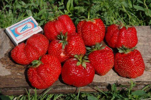 Размеры ягод клубники Машенька превышают габариты спичечного коробка