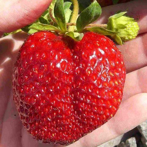 Большая ягода клубники сорта Машенька на ладони садовода