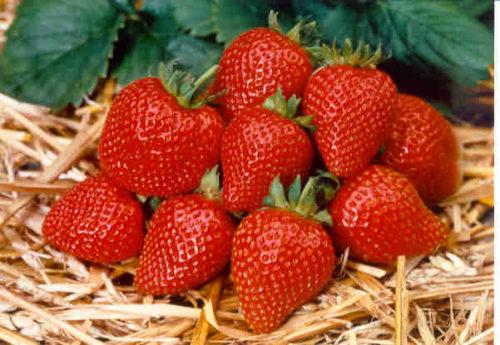Горстка спелых ягод клубники сорта Милан