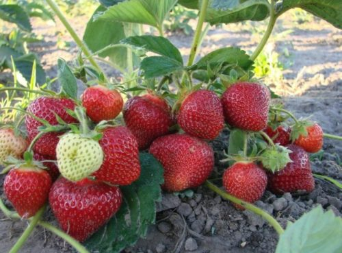 Кучка спелых ягод на кусту клубники Мурано