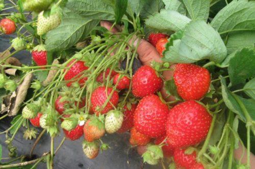 Спелые плоды клубники сорта Мурано