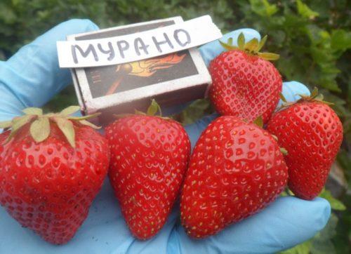 Размеры плодов клубники Муранто
