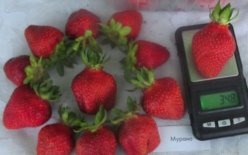 Вес ягоды клубники сорта Мурано