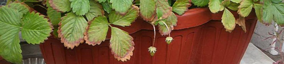 Кусты клубники с плодами на подоконнике в горшке