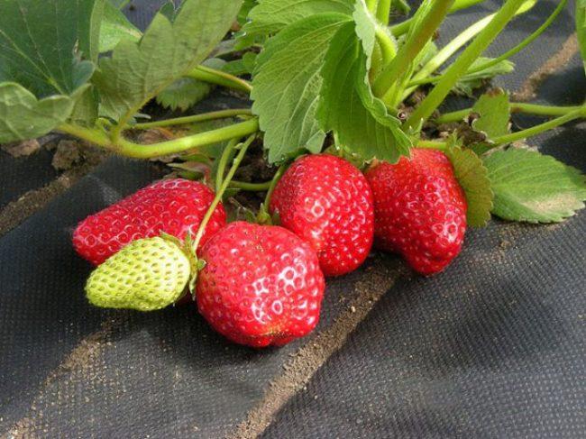Куст клубники с ягодами на черном укрывном материале