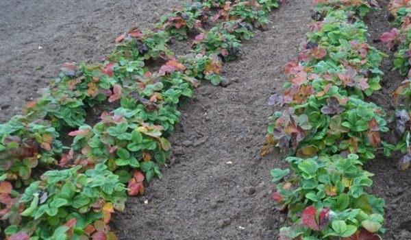 Грядка с клубникой осенью