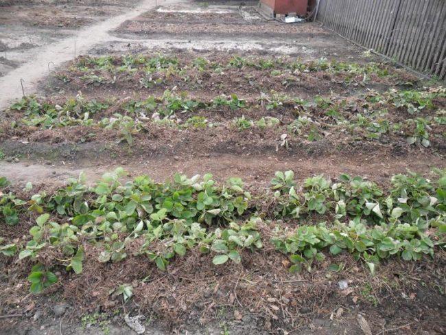 Садовая клубника на грядках в начале осени, подготовка к зимнему периоду