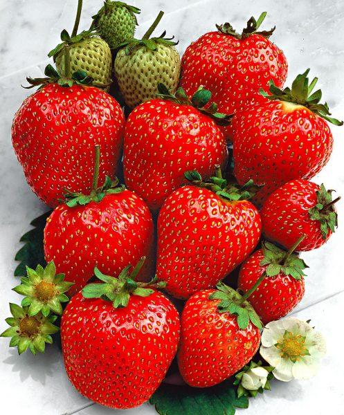 Горстка вкусных ягод клубники Остара