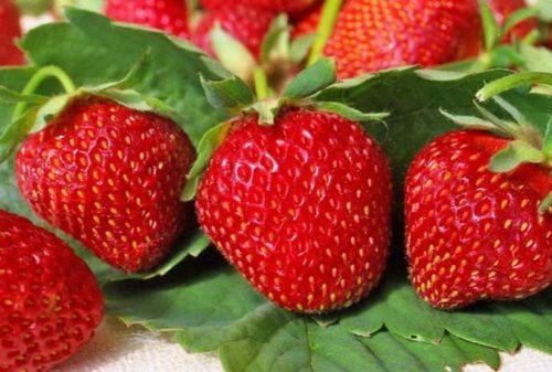 Красные ягоды клубники сорта Остара