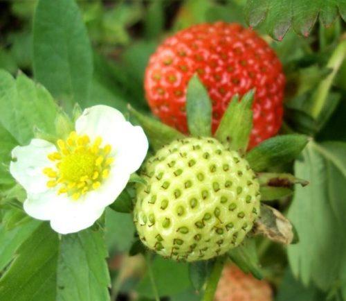 Цветок и ягоды вместе на ветке клубники