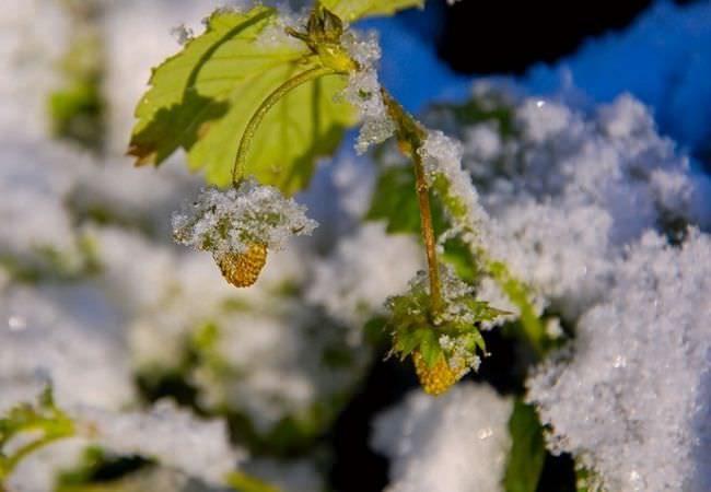 Ветка клубники под неожиданно выпавшим снегом