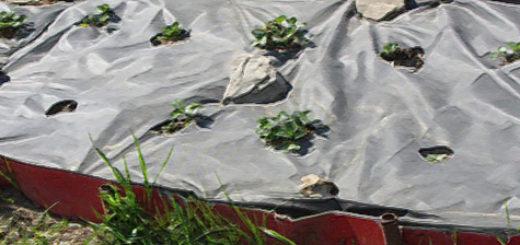 Кусты клубники под укрытием агроволокно