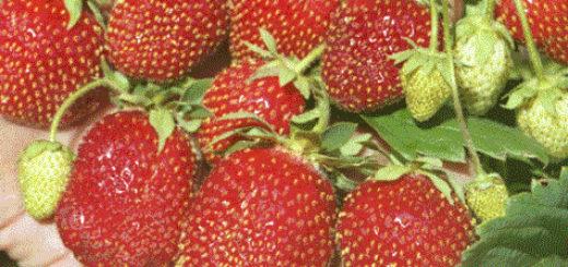 Куст и плоды клубники выращенной в Подмосковье