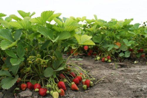 Произрастание ягоды вблизи с плодами