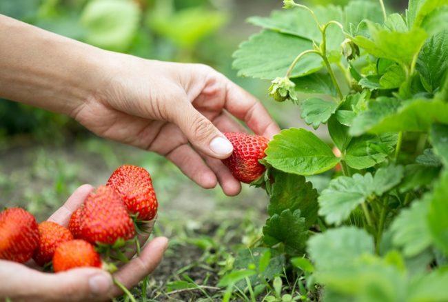 Сбор урожая ягод клубники Сан Андреас
